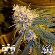 DNA Genetics Seeds Super Cannalope